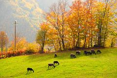 le pecore e l'autunno