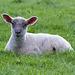 May 10: Lamer lamb