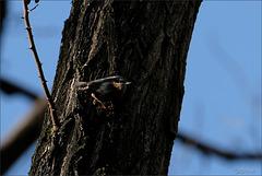 Sitelle torchepot (sitta europaea) en recherche..