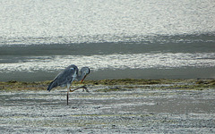 Grey Heron, Klein River lagoon, South Africa