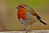 Euriasian Robin  050 copy
