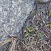 White-Lipped Snake & skink