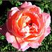 Mosolygó rózsa  Smiling rose