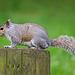 Eastham woods squirrel (12)
