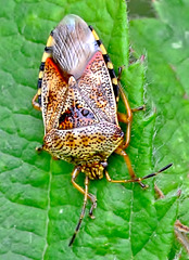 Parent Bug. Elasmucha grisea