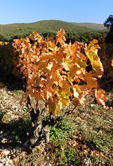 Vigne de la Drôme