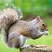 Eastham woods squirrel (24r)