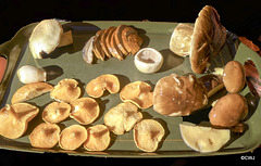A morning walk in the woods for breakfast! From top left clockwise: Field Mushroom, Sliced Boletus, field mushroom, Boletus, Golden Chanterelles (On the Red List endagnered species, but common in Scotland's uplands)