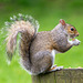 Eastham woods squirrel