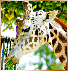 "Giraffe: ""Thank's, tasty and served at the right height..."" ©UdoSm"