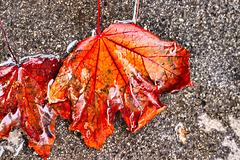 1 (16)...wet leaf...herbst..autumn...austria