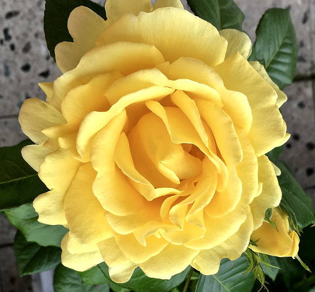 Guy's Gold-Rose