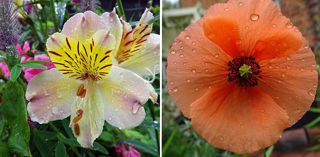 Alstromeria and poppy in the rain