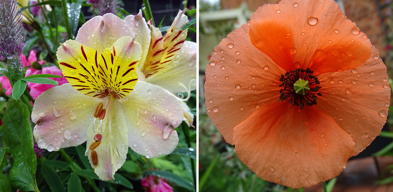 Alstromeria and poppy in the rain