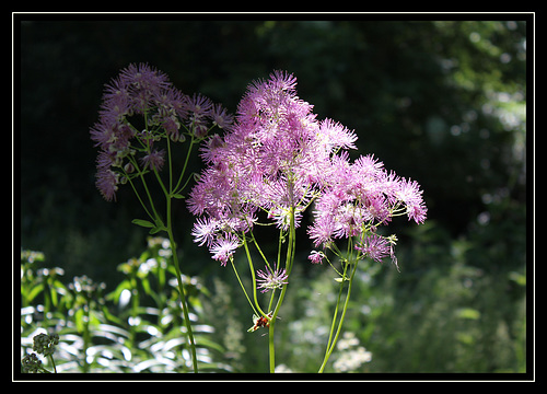 Thalictrum aquilegifolium- rêve de mimosa rose