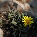 Calendula arvensis, Asteraceae