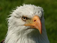 Bald Eagle after a cooling hosepipe shower