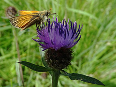 Small  Skipper on Knapweed.  Thymelicus sylvestris.  Underwing