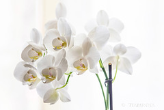 High key orchids