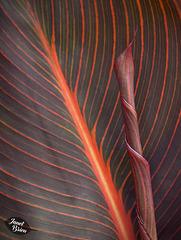 364/366: Hosta with Rolled-Up Leaf
