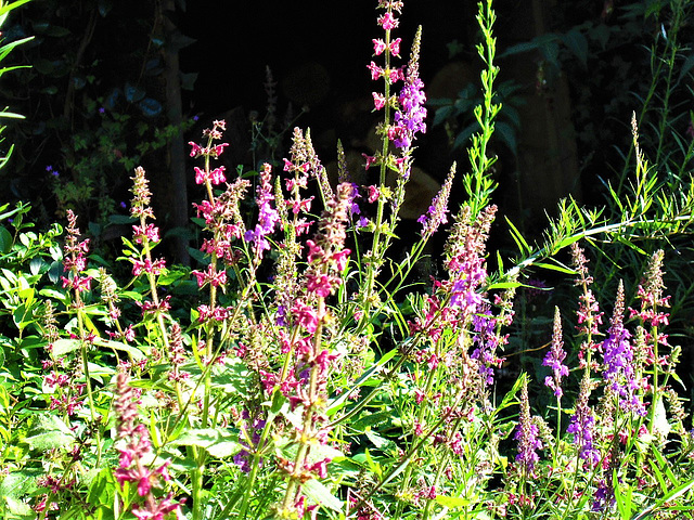 My driveway is now full of pink and purple loosestrife