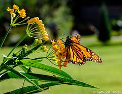 Monarch Butterfly 001