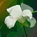May white