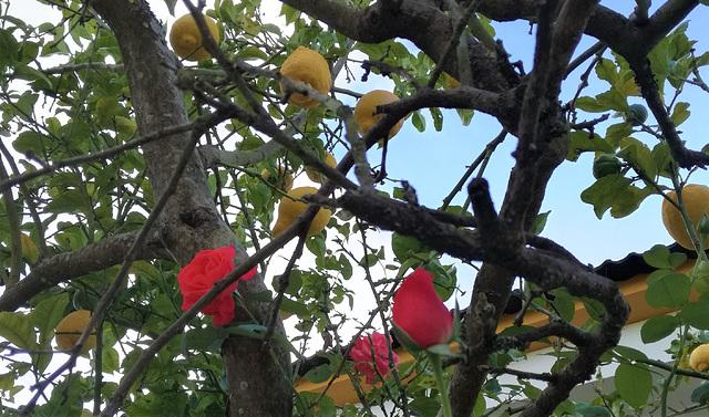The roses of the lemon tree