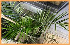 Phoenix  Canariensis    (zie de palm in het groot bij keith Burton )