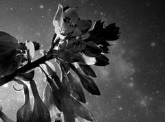 Flowers in starlight