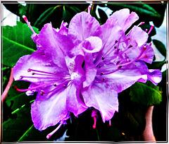 Winter-Rhododendron...? ©UdoSm