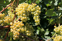 Weintrauben am Kurtatscher Weinwanderweg