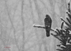 Der Falke ... (PIP)
