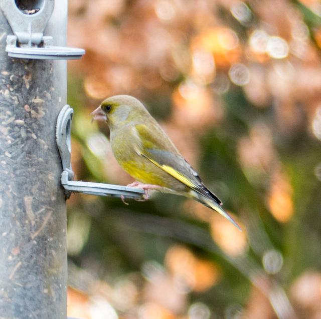 Finch on a feeder