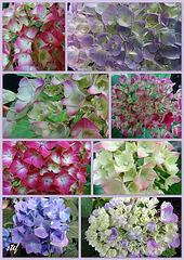 united colors of  hydrangeas