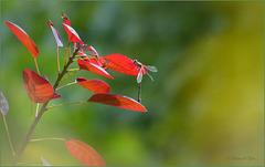 That Damselfly is loving the late Summer Sun...           Western Willow Spreadwing ~ Willow Emerald Damselfly ~ Houtpantserjuffer (Chalcolestes viridis)...