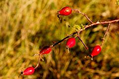 Hagebutte - rose hip - Églantine (PicinPic)