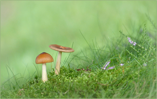 Autumn is Coming into the Netherlands: Tawny Grisette ~ Roodbruine slanke amaniet (Amanita fulva)...