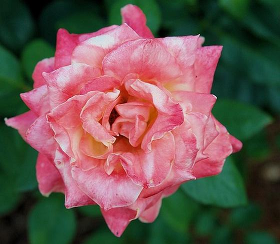 Une rose satinée de lumière...