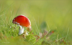 Lovely Fly agaric ~ Vliegenzwam (Amanita muscaria)...