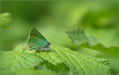 Green hairstreak ~ Groentje (Callophrys rubi) in the Green...