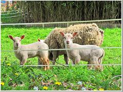 Mummy Sheep and her kids wishing a HFF