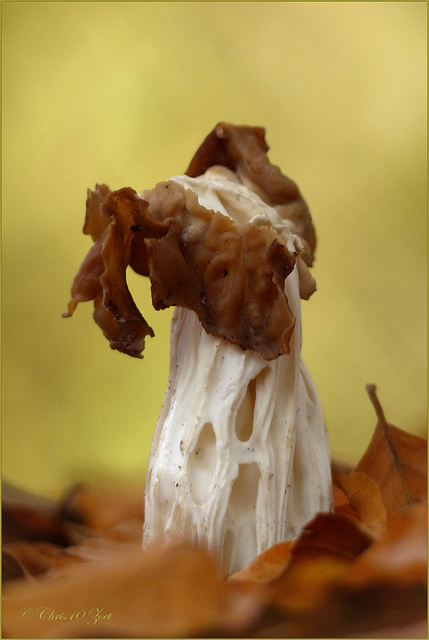 White saddle ~ Witte kluifzwam (Helvella crispa)...