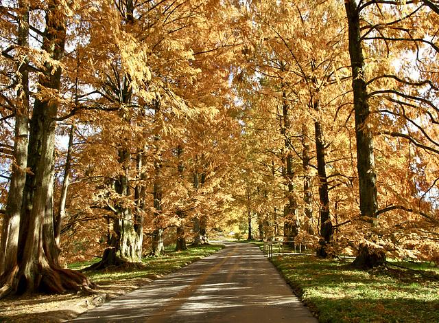 Herbstlich gefärbte Nadelbäume