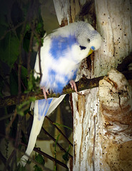 Portrait of a budgerigar (Melopsittacus undulatus). Informally nicknamed the budgie, it is a small, long-tailed, seed-eating parrot.