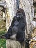Silver Back Gorilla 3 - Jersey Zoo