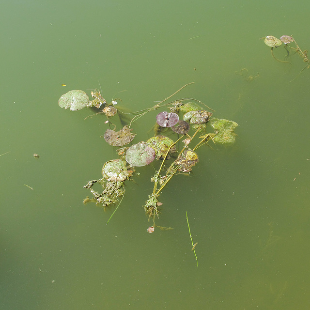 "Were these waterlilies trying to tell me ""We are healthy!""?"