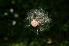 BESANCON: Une fleur de Pissenlit (ou Dent-de-lion) (Pappus).