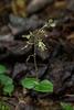 Neottia smallii (Kidney Leaf Twayblade orchid)