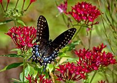 Swallowtail butterfly.  9084034